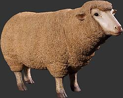 Merino Ewe Head Up Life Size Statue