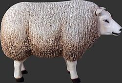 White Texel Sheep Head Up