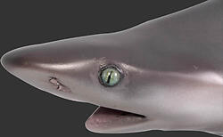 Black Tip Reef Shark 4FT Life Size Statue