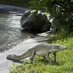 Crocodile Walking Statue 4FT