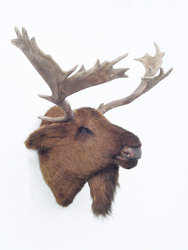 Moose Head Wall Mount Life Size Statue