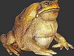Cane Toad Statue