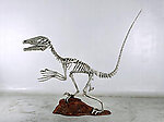 Dinosaur Skeleton Sculpture Deinonychus